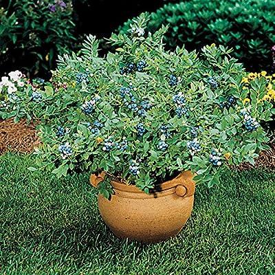 Blueberry Plant 'Sunshine Blue' - 1 Gallon Pot (Vaccinium corymbosum 'Sunshine Blue') - Live Plants