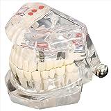 TOOGOO(R)modele modele de dent dentaire modele de soins prothese dentaire medecin Demo dentaire K67