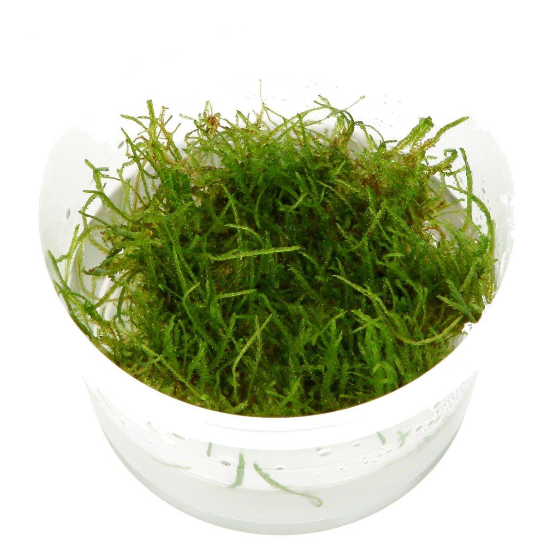 TROPICA Taxiphyllum Barbieri - Java Musgo 1 - 2-Grow Tissue Culture in vitro Planta para Acuario Camarón Safe & Caracol Libre: Amazon.es: Productos para ...