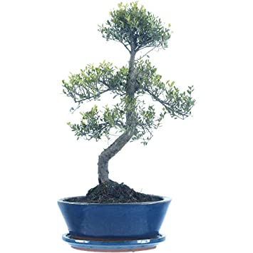 Kirschmyrte, Bonsai, 10 Jahre, 42cm: Amazon.de: Garten