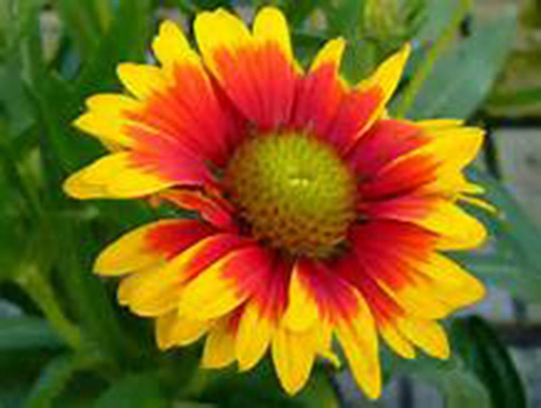 Amazon Gaillardia Aristata Blanket Flower 3 Hardy Live