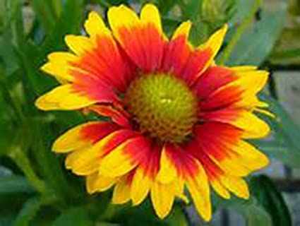 Amazon Gaillardia Aristata Blanket Flower 3 Hardy Live