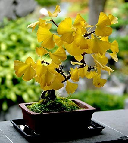 Amazon Com Heirloom 5 Ginkgo Biloba Gingko Maidenhair Tree Seeds Nuts Bonsai Tree Grown From Seed Garden Outdoor