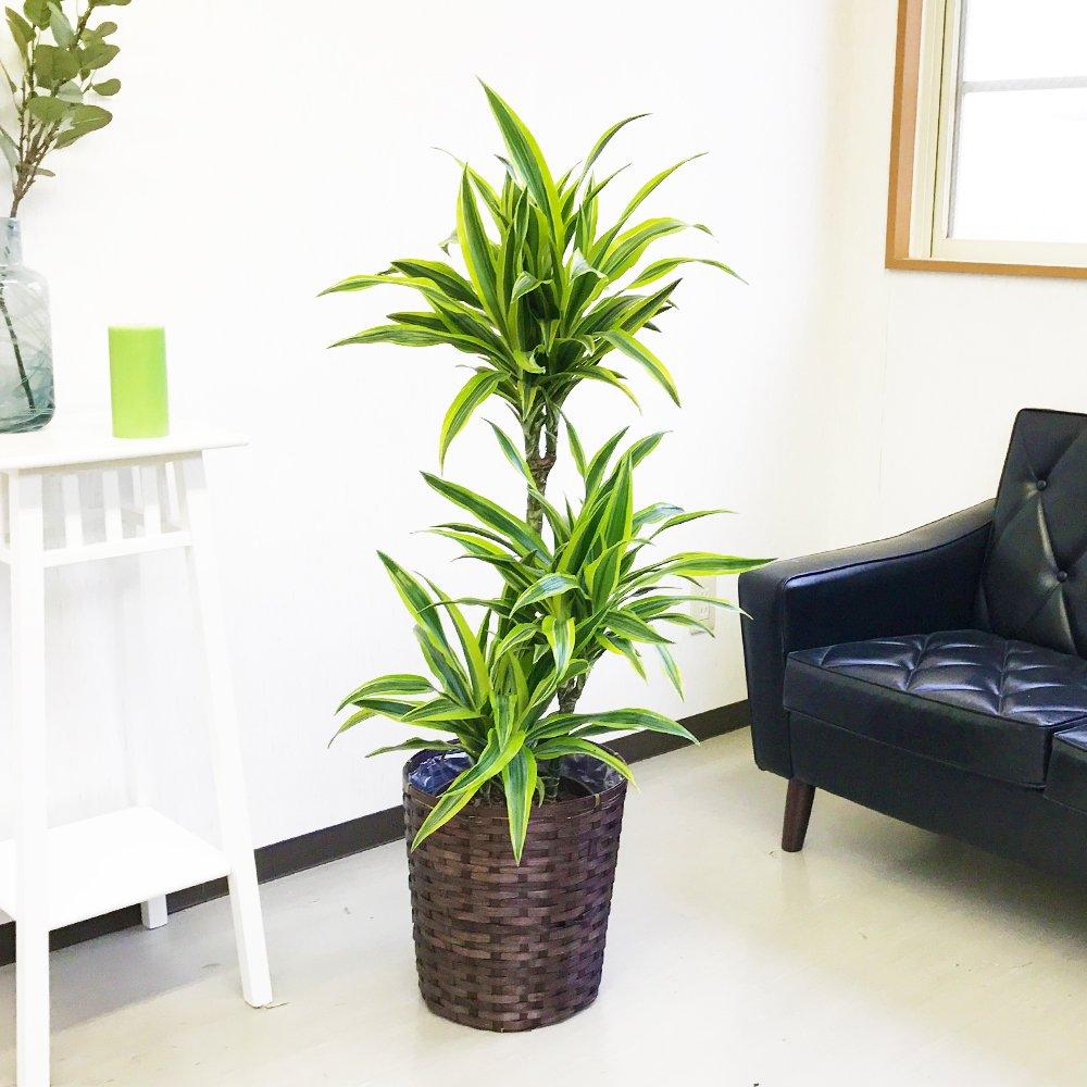 ドラセナ ワーネッキー レモンライム 鉢カバー付 観葉植物 中型 大型 インテリア B017VK4WYQ