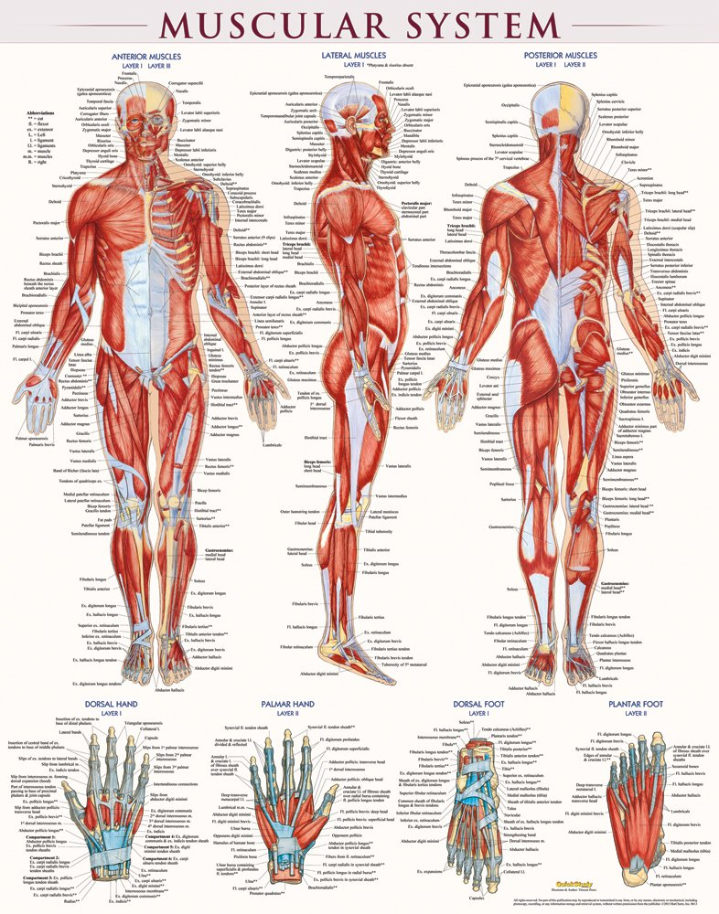 Buy Muscular System Laminated Quick Study Book Online At Low