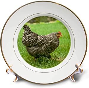 3dRose Danita Delimont - Animals - Free-ranging Barred Plymouth Rock Chicken - Plates (cp_332721_1)