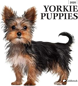 "Goldistock 2020 Large Wall Calendar -""Yorkshire Terrier Puppies"" - 12"" x 24"" (Open) - Thick & Sturdy Paper - - Yorkies- Bundles of Energy, Affectionate and Supremely Adorable Dog"