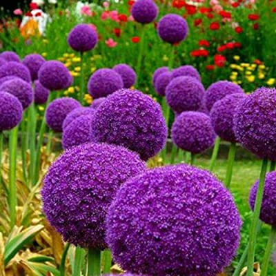 Allium Giganteum Seeds for Yard Gardening Plant, 100Pcs Giant Onion Seeds Allium Giganteum Flower Plant Home Garden Bonsai Decor - Purple Giant Onion Seeds by Mosichi : Garden & Outdoor