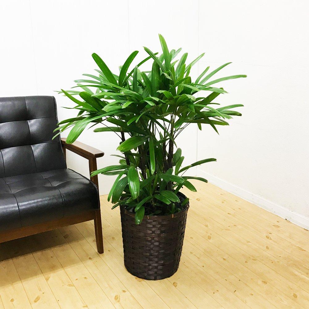 観音竹 カンノンチク 鉢カバー付 観葉植物 中型 大型 インテリア B01962ACFU