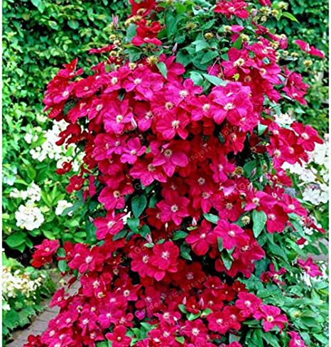 is clematis a perennial