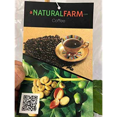 """AchmadAnam - Live Plant - Coffee Plant 14"""" Tall in 4 in Pot - Established - Naturally & Organically Grown - Quality Assurance - Non-GMO - Permaculture. E7 : Garden & Outdoor"""