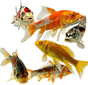 Toledo Goldfish Live Butterfly Fin and Regular Koi Combo for Ponds, Aquariums or Tanks – USA Born and Raised – Live Arrival Guarantee (4 to 5 inches, 20 Fish)