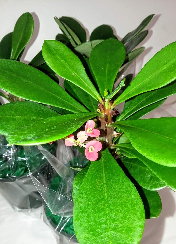 Amazon Com Pink Crown Of Thorns Plant Euphorbia 4 5 Pot
