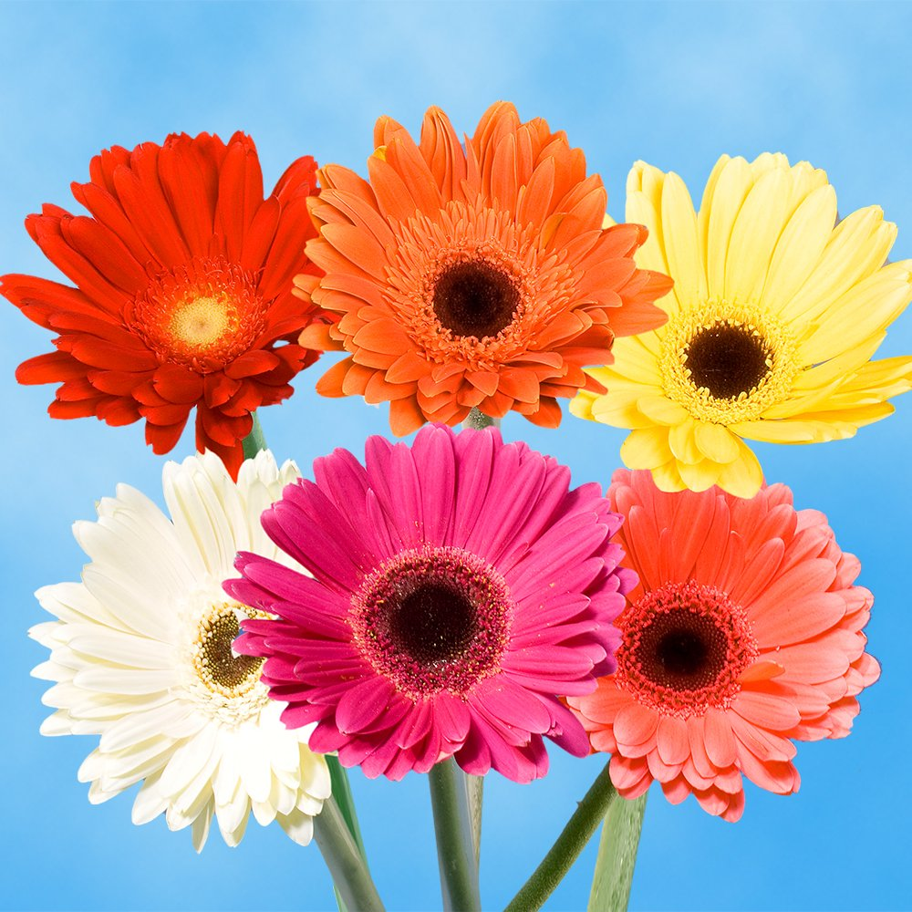 GlobalRose Gerbera Daisies 30 Stems of Assorted Color - Fresh Flowers for Delivery