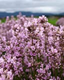 """Findlavender - Lavender Angustifolia MELISSA (Pink Flowers) - 4"""" Size Pot - Zones 5 - 10 - Bee Friendly - Attract Butterfly - Evergreen Plant - 1 Live Plant"""