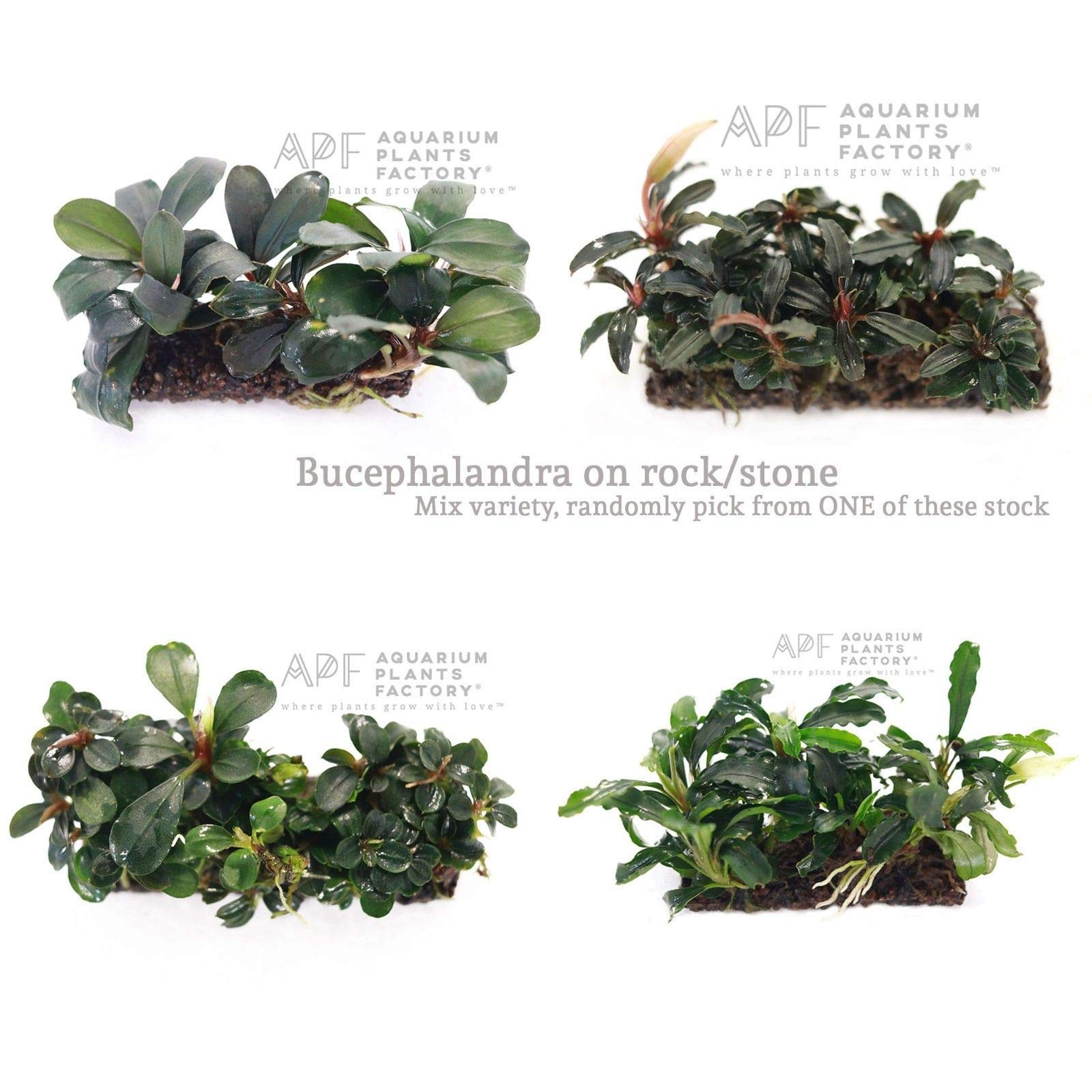 One Bucephalandra Mix Variety on Rock Stone Bucep Buce Rare Live Aquarium Plants