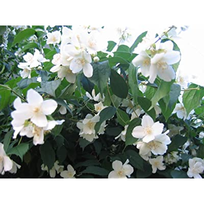 20 Mock Orange Sweet English Dogwood Philadelphus Coronarius Shrub Flower Seeds : Garden & Outdoor