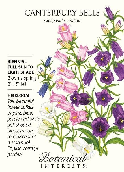Amazon Canterbury Bells Seeds 500 Mg Campanula Flowering