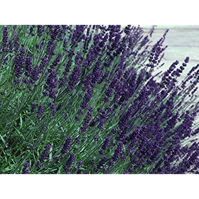 AchmadAnam - Live Plant Calming Hidcote Blue True Lavender Herb - Quart Pot : Garden & Outdoor