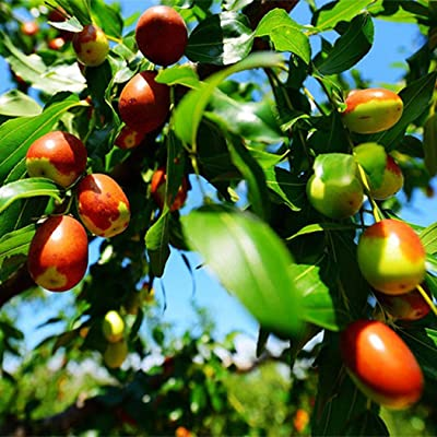 HOTUEEN Garden Jujube Fruit Seeds Plants Seeds Fruits Vegetables Seed Fruits : Garden & Outdoor