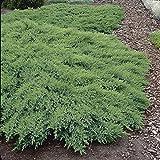 4 : Juniperus Sabina Rockery Gem - 4 Trees