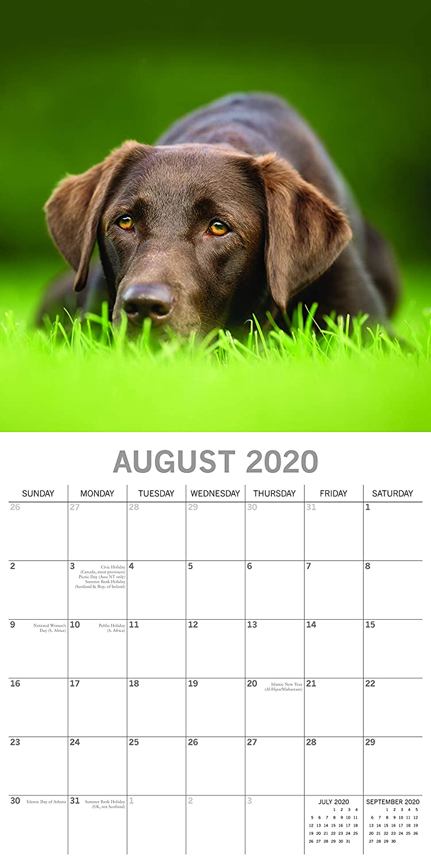 motivo quadrato Labrador Calendario da parete 2020