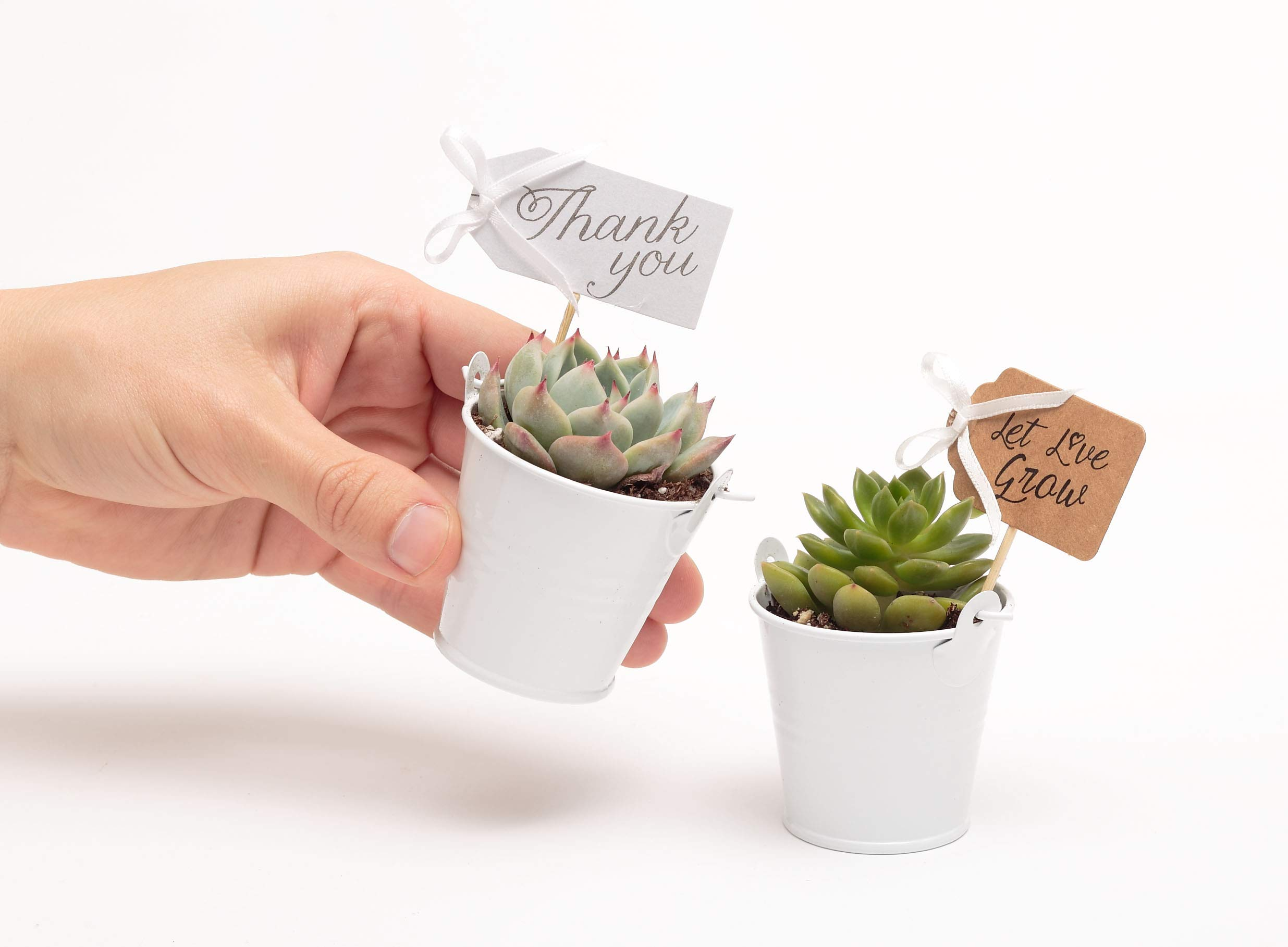 2 in. Wedding Event Rosette Succulents with White Metal Pails and Thank You Tags (60) by Succulent Source (Image #3)