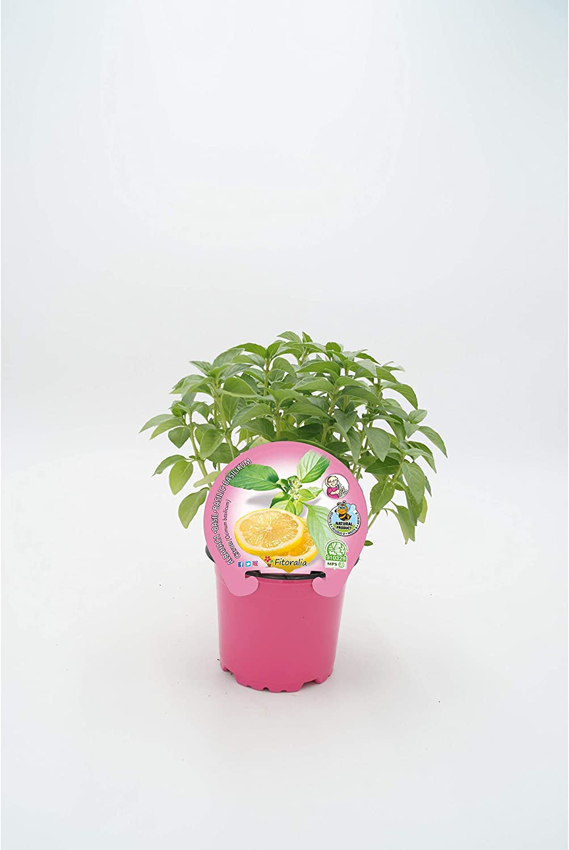 Plantón Natural de Albahaca Citron maceta 10, 5 cm de diámetro ...