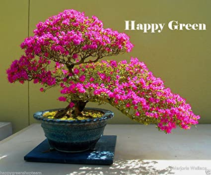 Amazoncom Lily Magnolia 5 Seeds Magnolia Liliiflora Gorgeous
