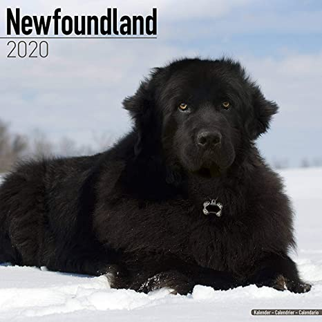 Newfoundland Calendar 2020 Dog Breed Calendar Wall Calendar 2019 2020