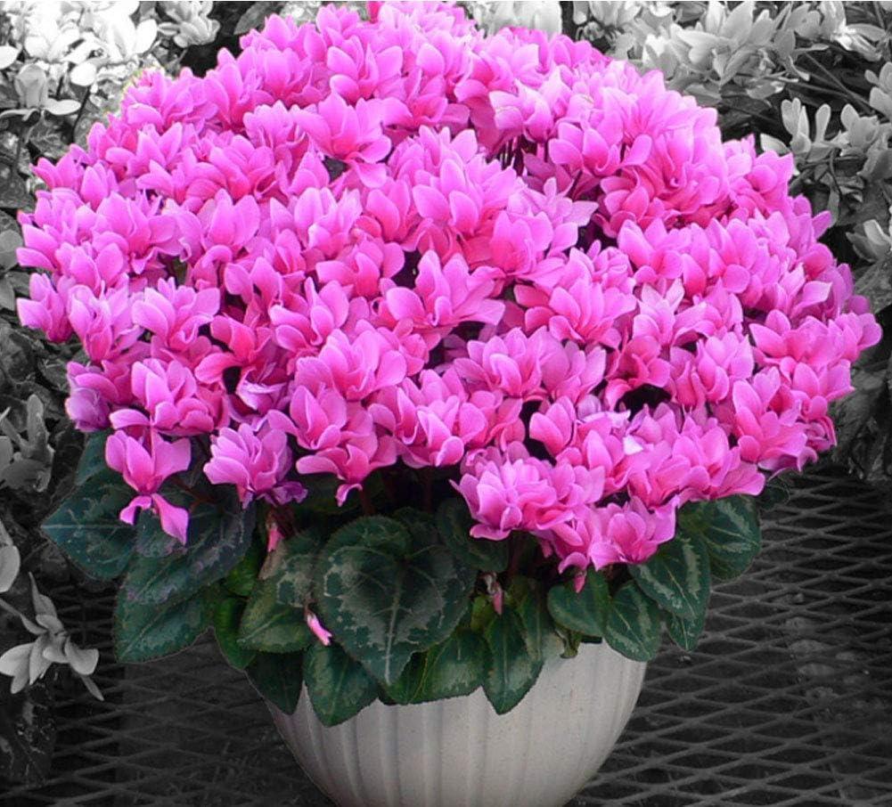 QHYDZ Garten-50pcs Semillas Flores Perenne Cyclamen Resiste Inviernos, Planta Ornamental Bonsai Interior Exterior para Jardin Terraza