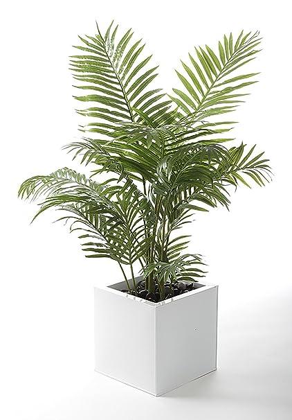 Amazoncom Live Areca Palm Plant Fit 1 Quart Pot Premium Foliage
