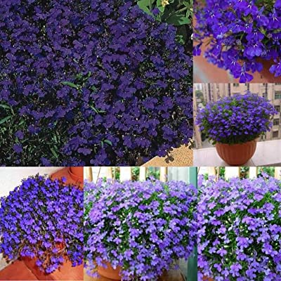 Seeds House- Caiuet Blue Lobelia Seed Flower Seeds Pilled Seed Hardy Perennial Flowers bee-Friendly Flower Seeds for Balcony, Garden : Garden & Outdoor