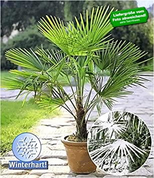 Baldur Garten Winterharte Kubel Palmen Chinesische Hanfpalme
