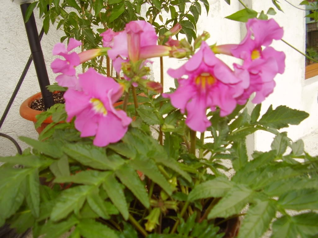 Amazon 10 Cheron Pink Winter Hardy Gloxinia Incarvillea