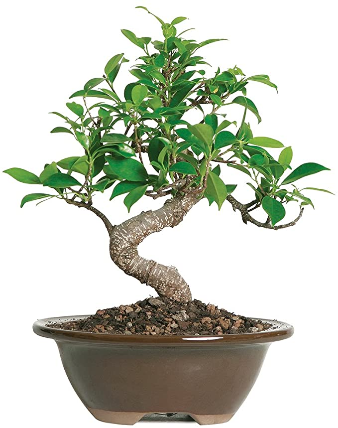 Amazon Com Brussel S Live Golden Gate Ficus Indoor Bonsai Tree 4 Years Old 5 To 8 Tall With Decorative Container Garden Outdoor