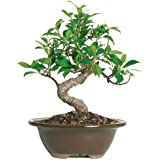 """Brussel's Live Golden Gate Ficus Indoor Bonsai Tree - 4 Years Old; 5"""" to 8"""" Tall with Decorative Container"""