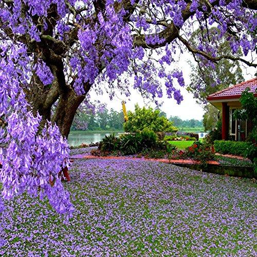 CqmzpdiC Beautiful Flower Color, Easy Grow, Tree Plant, Garden Decor 100Pcs Jacaranda Mimosifolia Royal Empress Tree Flower Seeds Garden Plant Decor