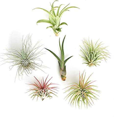 Amazon Com Shop Succulents Unique Live Air Plants Hand Selected