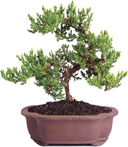 Amazon Com Brussel S Live Green Mound Juniper Outdoor Bonsai Tree 5 Years Old 6 To 10 Tall With Decorative Garden Outdoor
