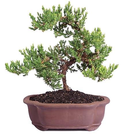 Pleasant Amazon Com Brussels Live Green Mound Juniper Outdoor Bonsai Tree Wiring Digital Resources Skatpmognl