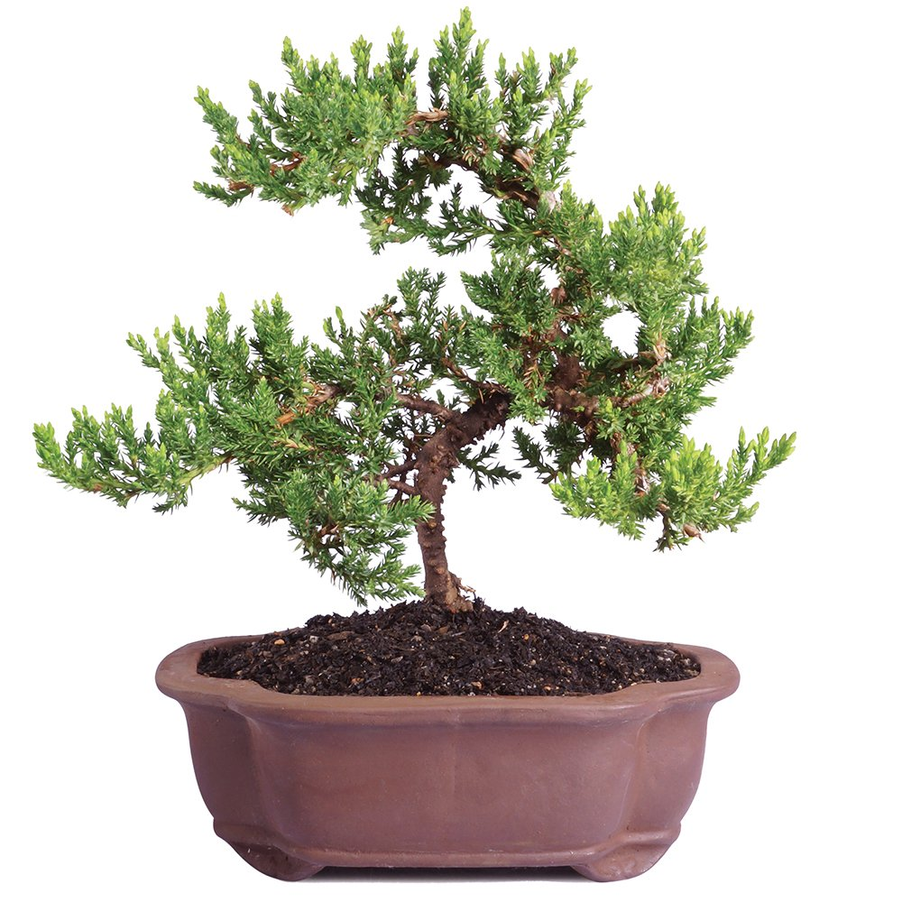 Brussel's Live Green Mound Juniper Outdoor Bonsai Tree - 5 Years Old; 6'' to 10'' Tall with Decorative