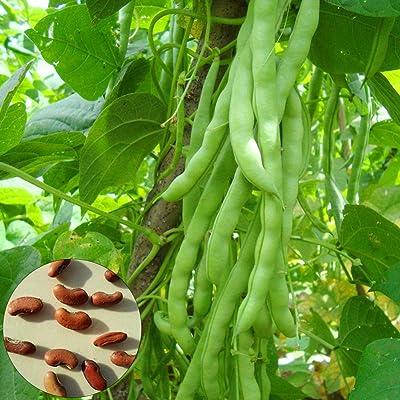 BYyushop Green Bean Seeds 100Pcs Green Bean Seeds Nutritious Vegetable Garden Back Yard Field Farm Plant Green Bean Seeds : Garden & Outdoor