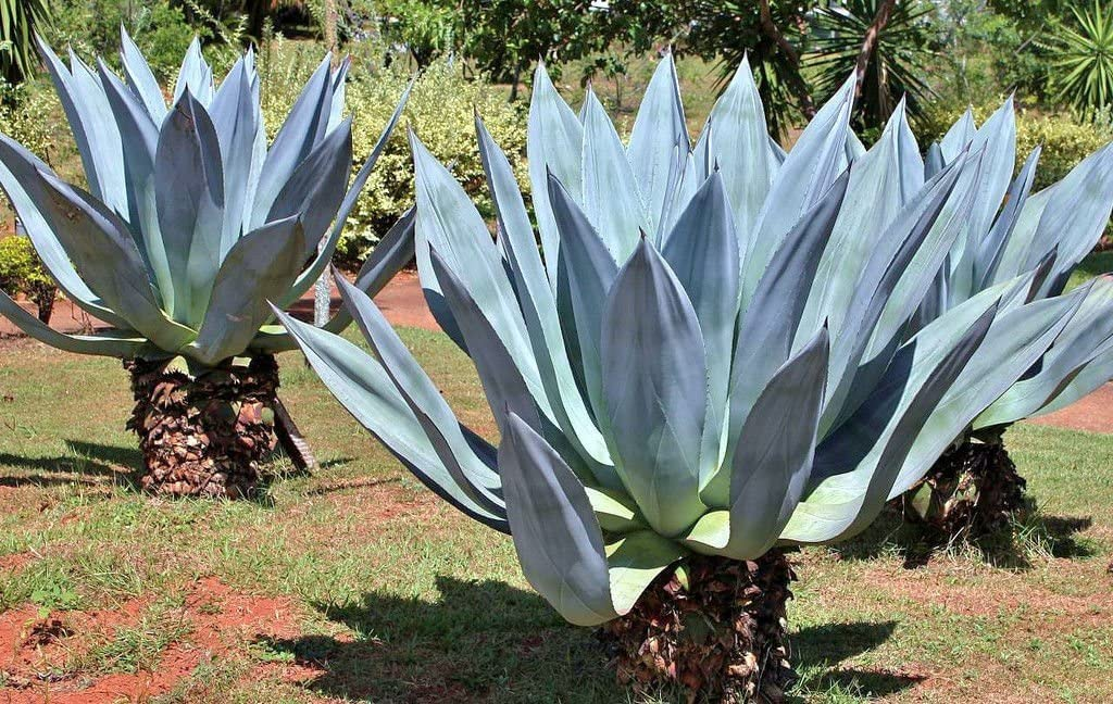 Amazon Com Agave Americana Rare Succulent Century Plant Seed