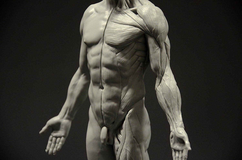 Figura anatómica masculina:Figura de 28 cm (gris).: Amazon.es: Hogar