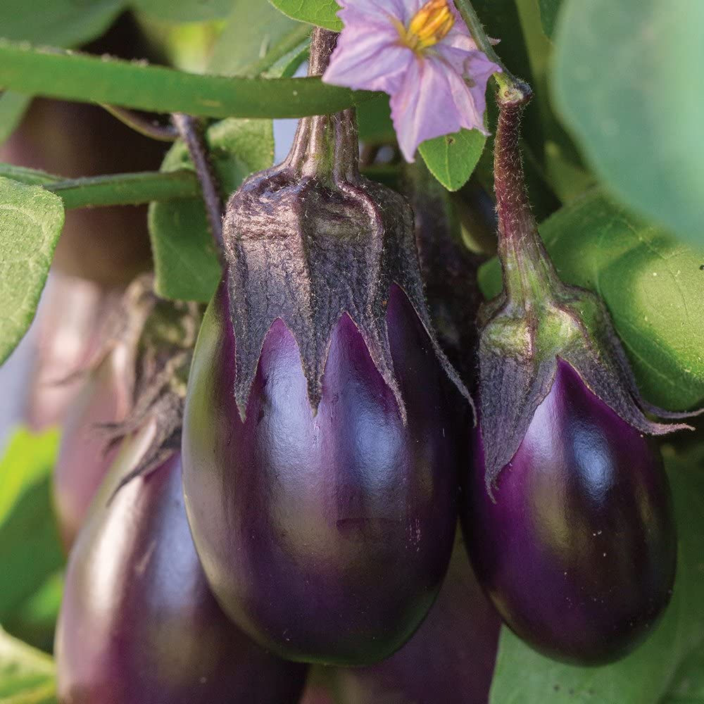 Burpee Patio Baby Eggplant Seeds 30 seeds