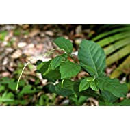 Guinea Hen Weed Leaves (1 lb)  aka Anamu- ,the powerful herb that