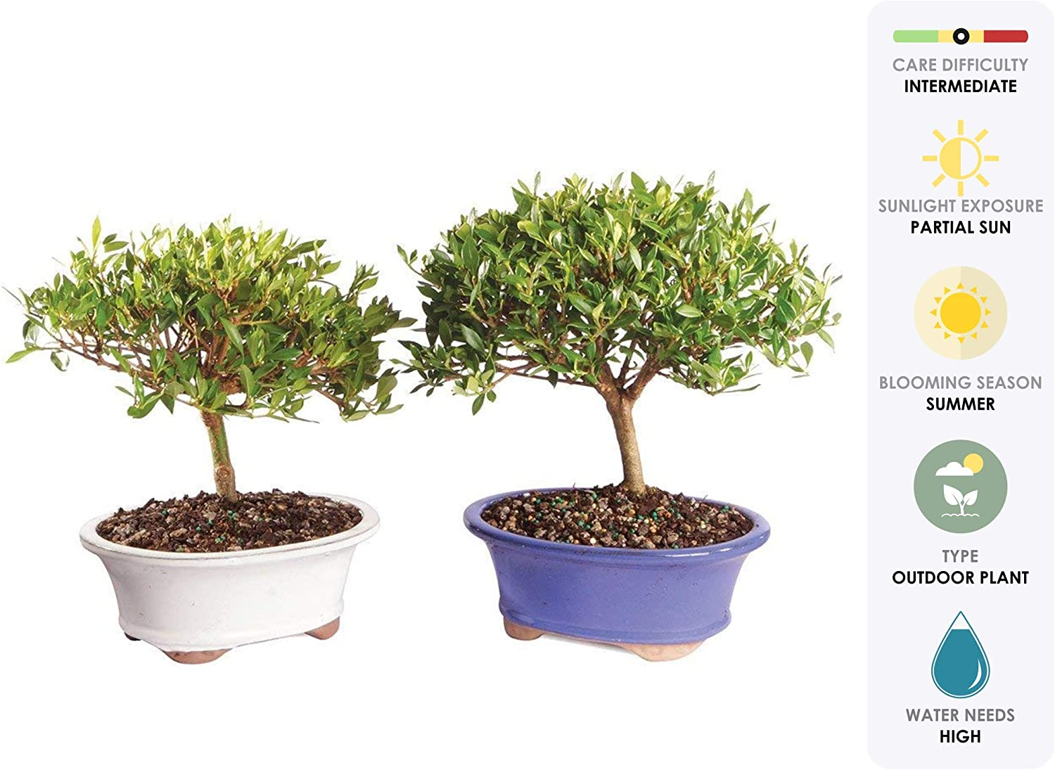 Amazon Com Brussel S Live Gardenia Outdoor Bonsai Tree 2 Pack 8 Years Old 8 To 12 Tall With Decorative Container Garden Outdoor