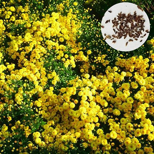 Sytaun 400 Piezas De Semillas De Crisantemo De Cubierta De Suelo Amarillo, Jardín, Alfombra, Decoración De Flores, Fácil De Plantar, Planta Ornamental Semillas de crisantemo Cubiertas de Tierra: Amazon.es: Hogar