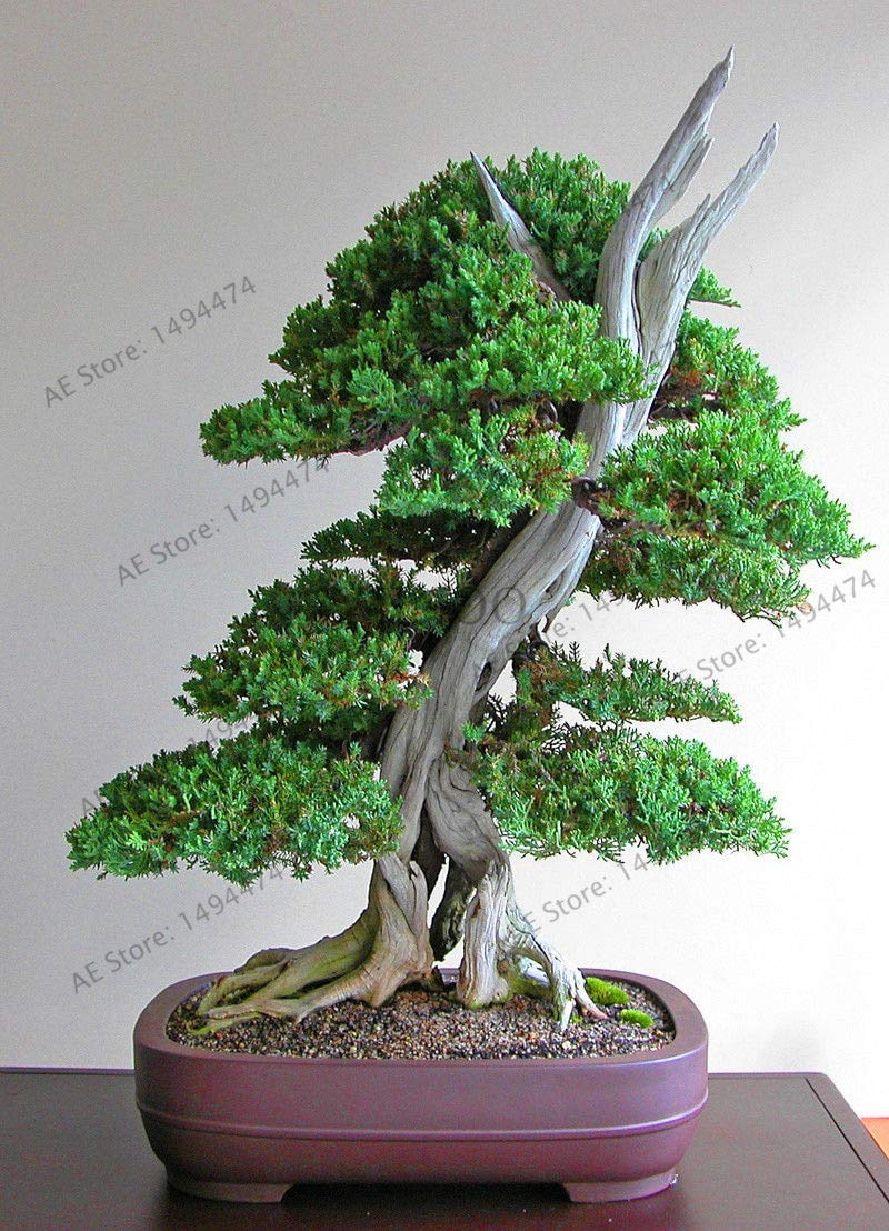 Big Sale!50 Juniper Bonsai Tree Potted Flowers Office Bonsai purify The air by SVI (Image #1)